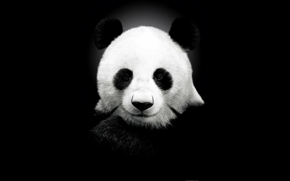 可爱呆萌大熊猫桌面壁纸_第7页_科普云中国